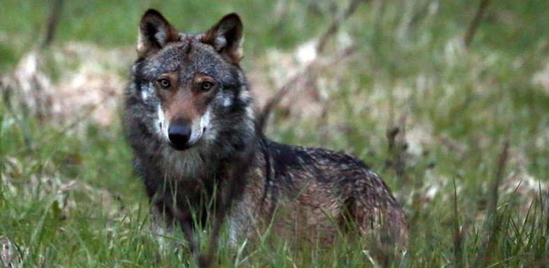 WolfTessin